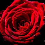 rose-1 H